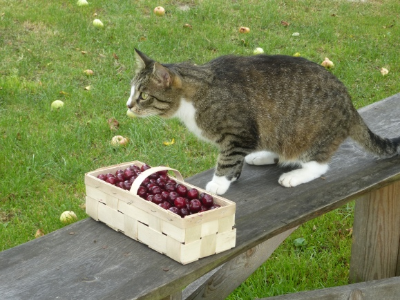 Hili guarding cherries