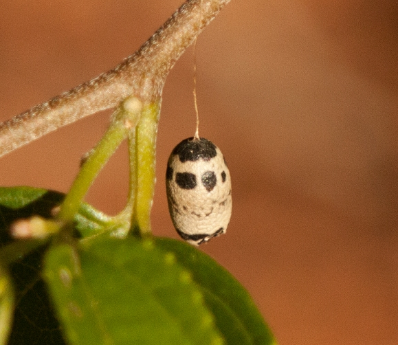 ichneumon wasp chrysalis