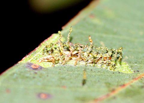 Larvae 1