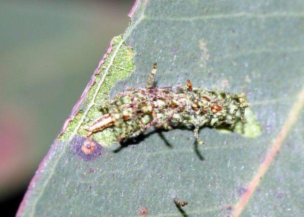 Larvae 2