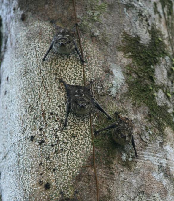 leaf_nosed_bats