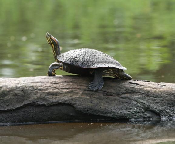 sliding_turtle