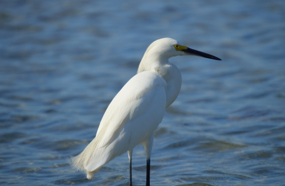 Snowy Egret 2_Egretta thula-DSC_0178
