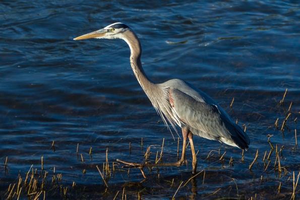 Tom Hennessy Blue Heron James River-9626