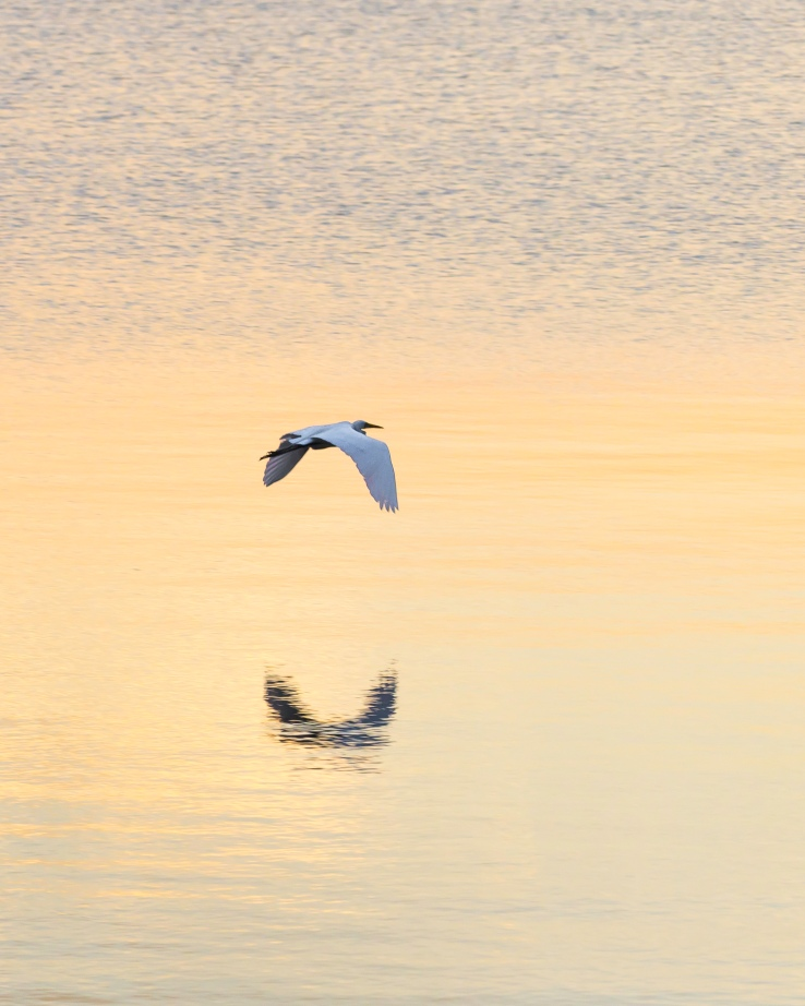 Tom Hennessy Egret-2350