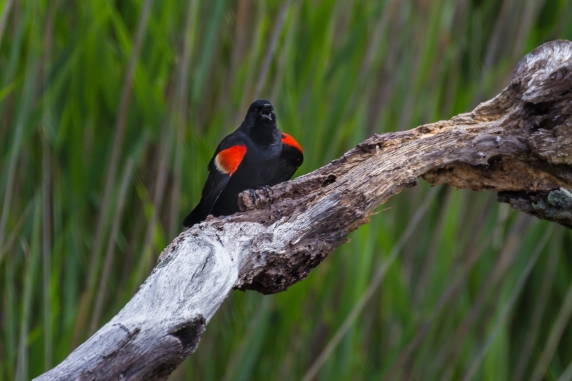 Tom Hennessy Red Winged Blackbird-2114