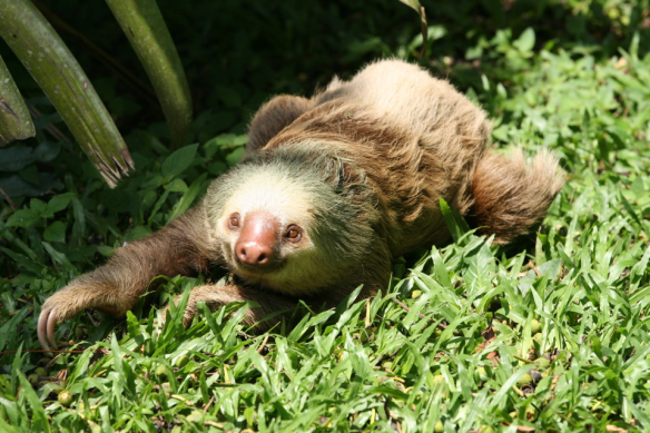 two_toed_sloth_grounded