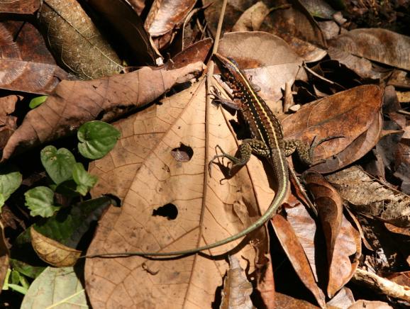 whiptail_lizard