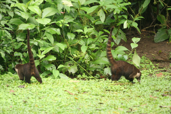white_nosed_coati_pair