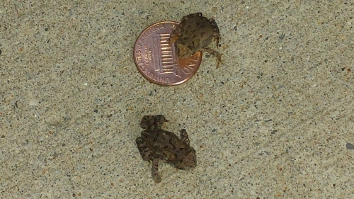 American Toads from stairwell, University of Wisconsin-Parkside, Somers, Wisconsin,17 August 2016.