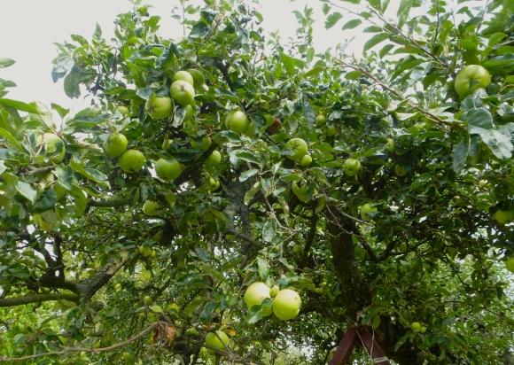 4a. Apples