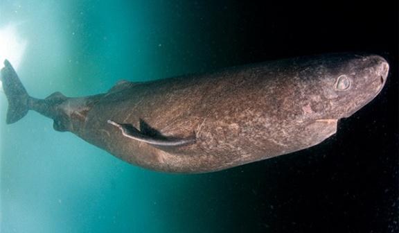 5-greenland-shark1