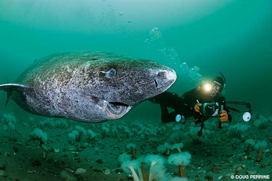 Greenland shark and diver