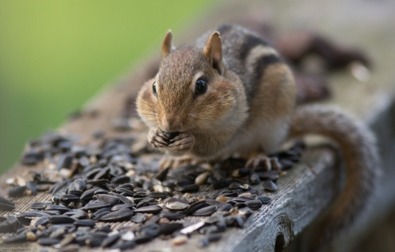 Eastern chipmunk %28Tamias striatus%29 Nibbles Seeds