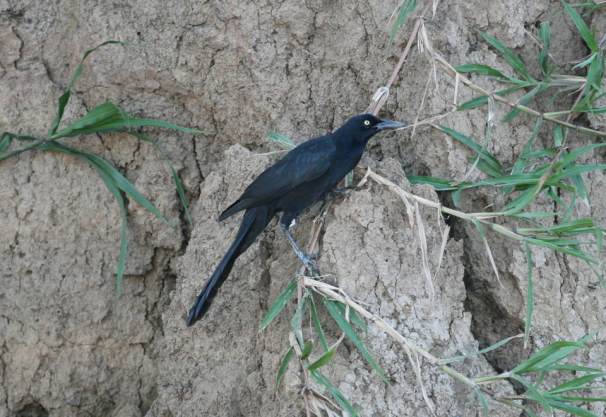 great_tailed_grackle