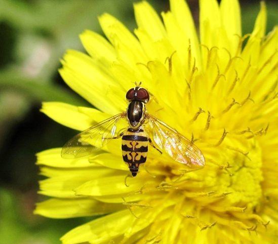 hoverfly Toxomerus geminatus