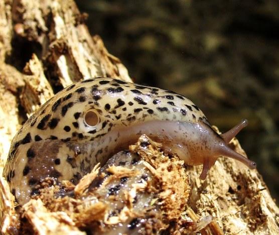Leopard slug 1