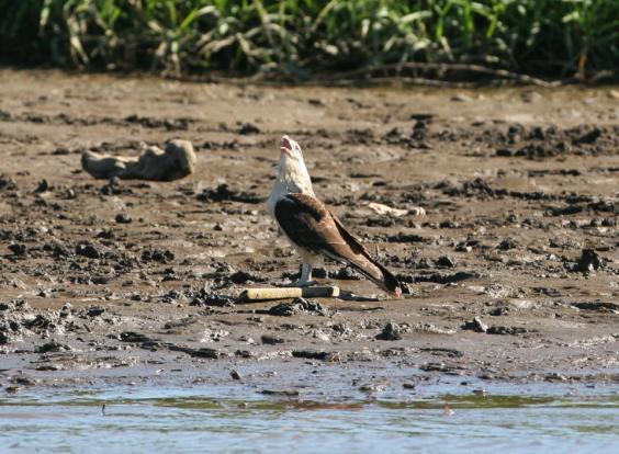 mangrove_hawk