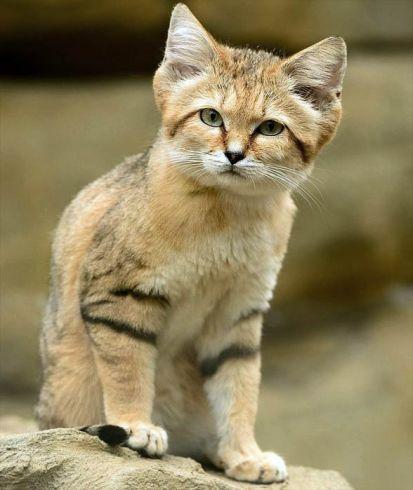 Sand-cat-3