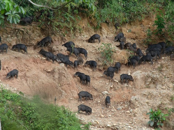 White-lipped Peccary herd at Rio Tambopata clay lick