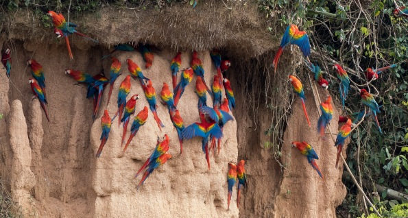 Scarlet and Red-and-green Macaws on Rio Tambopata Clay Lick