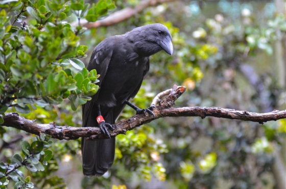 4-hawaiian-crow