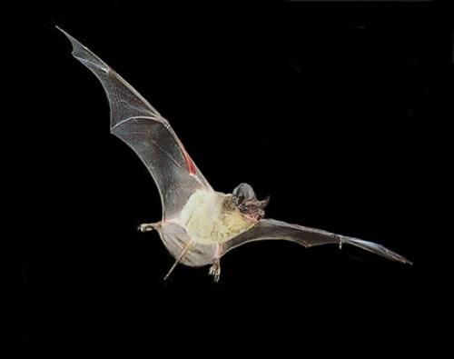 brazilianfree-tailedbat_tadaridabrasiliensis_001