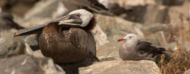 brown-pelican-and-heergull