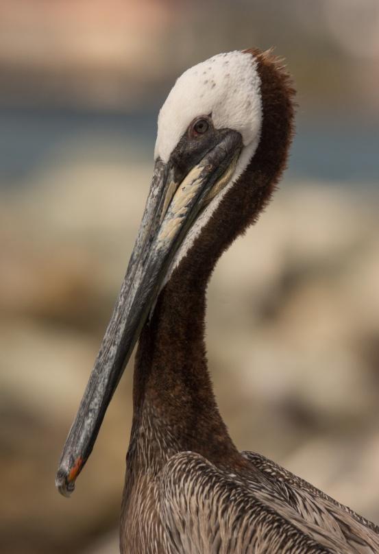 brown-pelican-profile