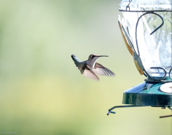 Female ruby-throated humming bird %28Archilochus colubris%29 Coming In for Nectar