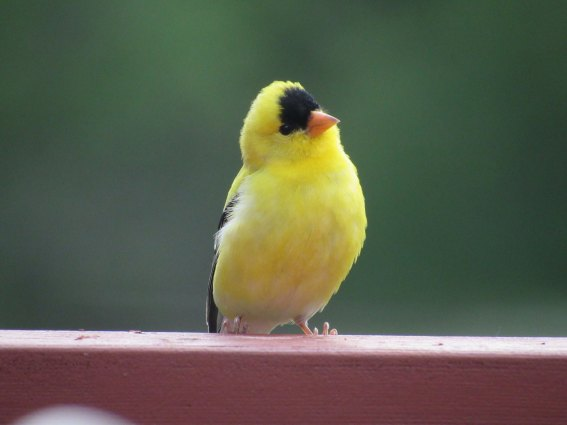 gold_finch_1