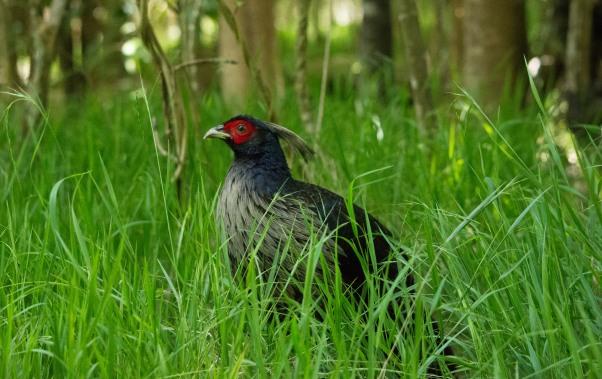 Kalij Pheasant 1