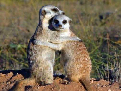 meerkat6