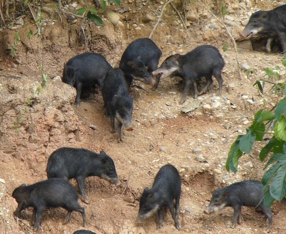 White-lipped Peccaries at Rio Tambopata Clay Lick