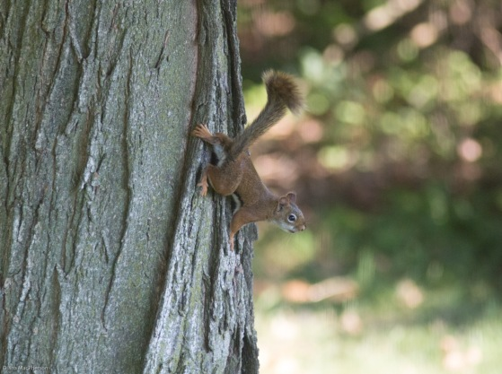 Startled American Red Squirrel Clining to Tree Trunk