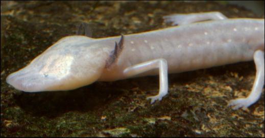 texas blind salamander has optic nerves but no real eyes