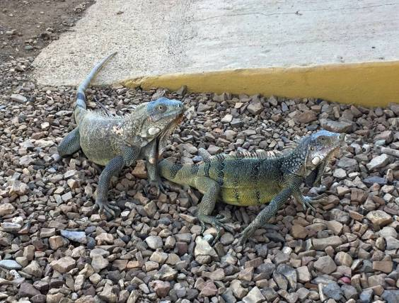202-img_4212-iguanas-at-park-entrance