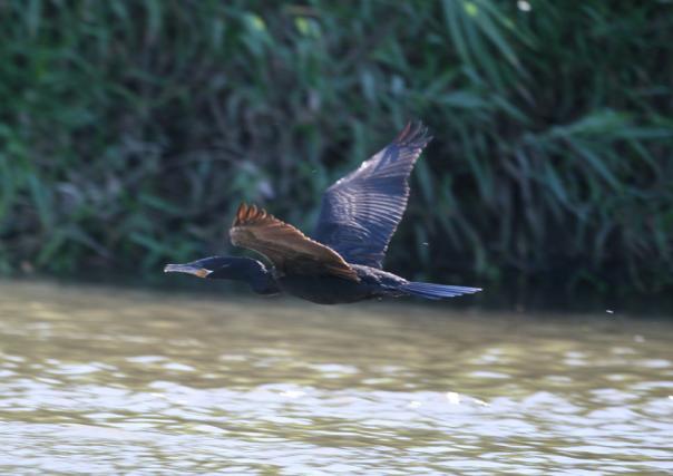 cormorant%5b1%5d