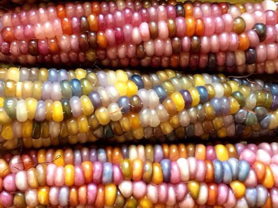 Glass Gem Corn Why Evolution Is True