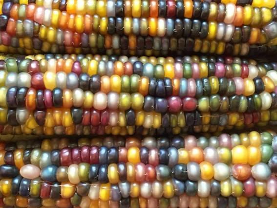 Glass Gem Corn Why Evolution Is True