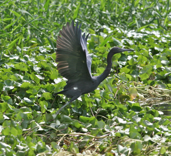 little_blue_heron_taking_off
