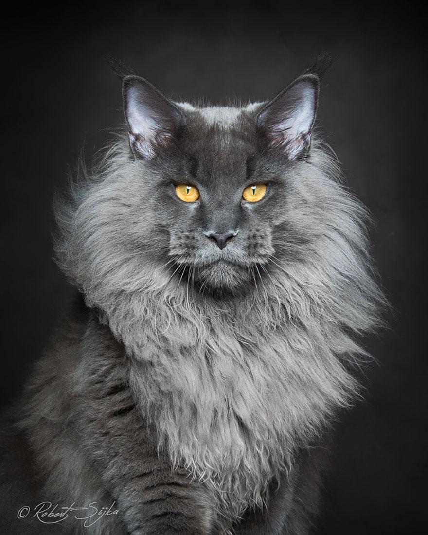 maine-coon-cat-photography-robert-sijka-64-57ad8f2c0277c__