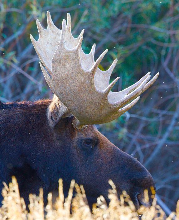 moose-oct-4