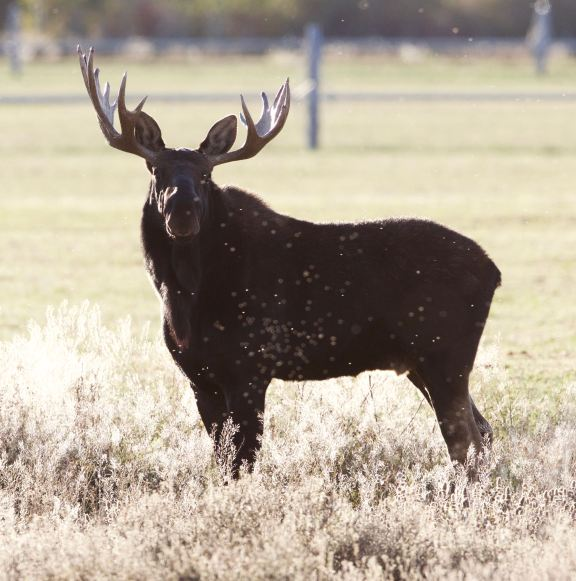 moose-oct9