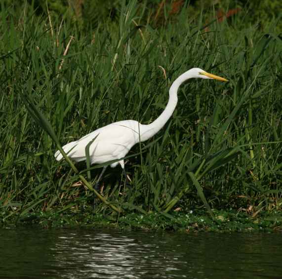 royal_egret