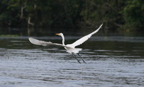 royal_egret_flying