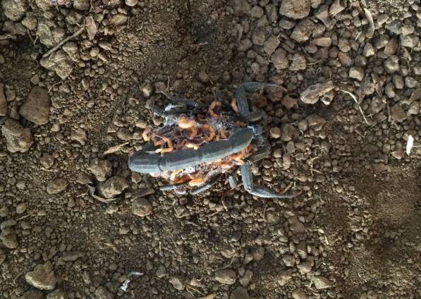 scorpion_mother