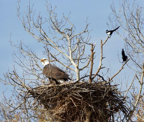 barnard-eagle
