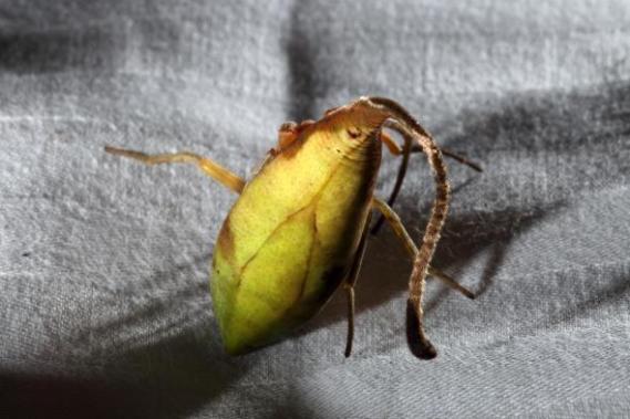 leaf-spider-02-adapt-590-1
