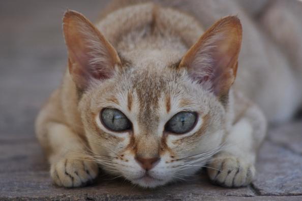 singapura_cat_crouching